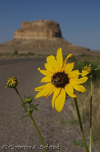 Chaco sunflower and Fajada Butte (2007)